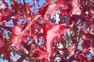 Red Tree Cropped